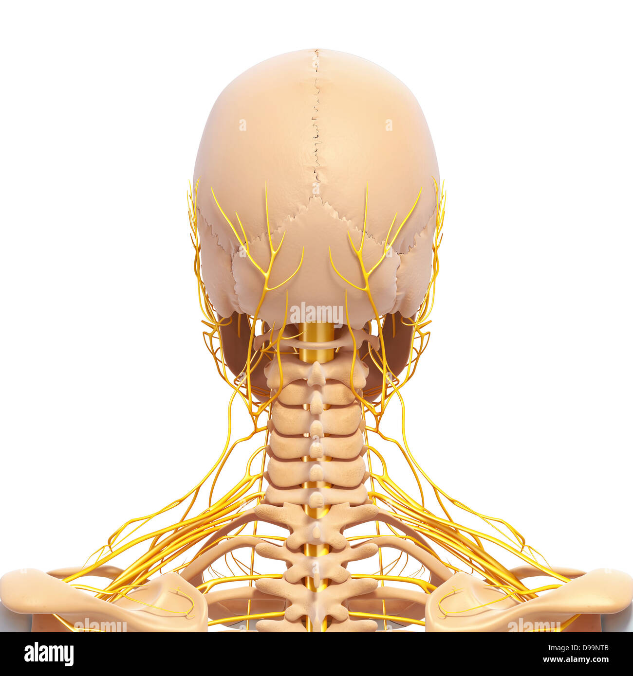 Human Head Anatomy With Nervous System Stock Photo 57377723 Alamy