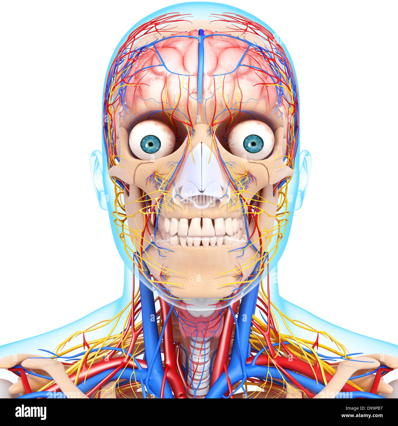 Circulatory System Of Human Head Anatomy Stock Photo 57378139 Alamy