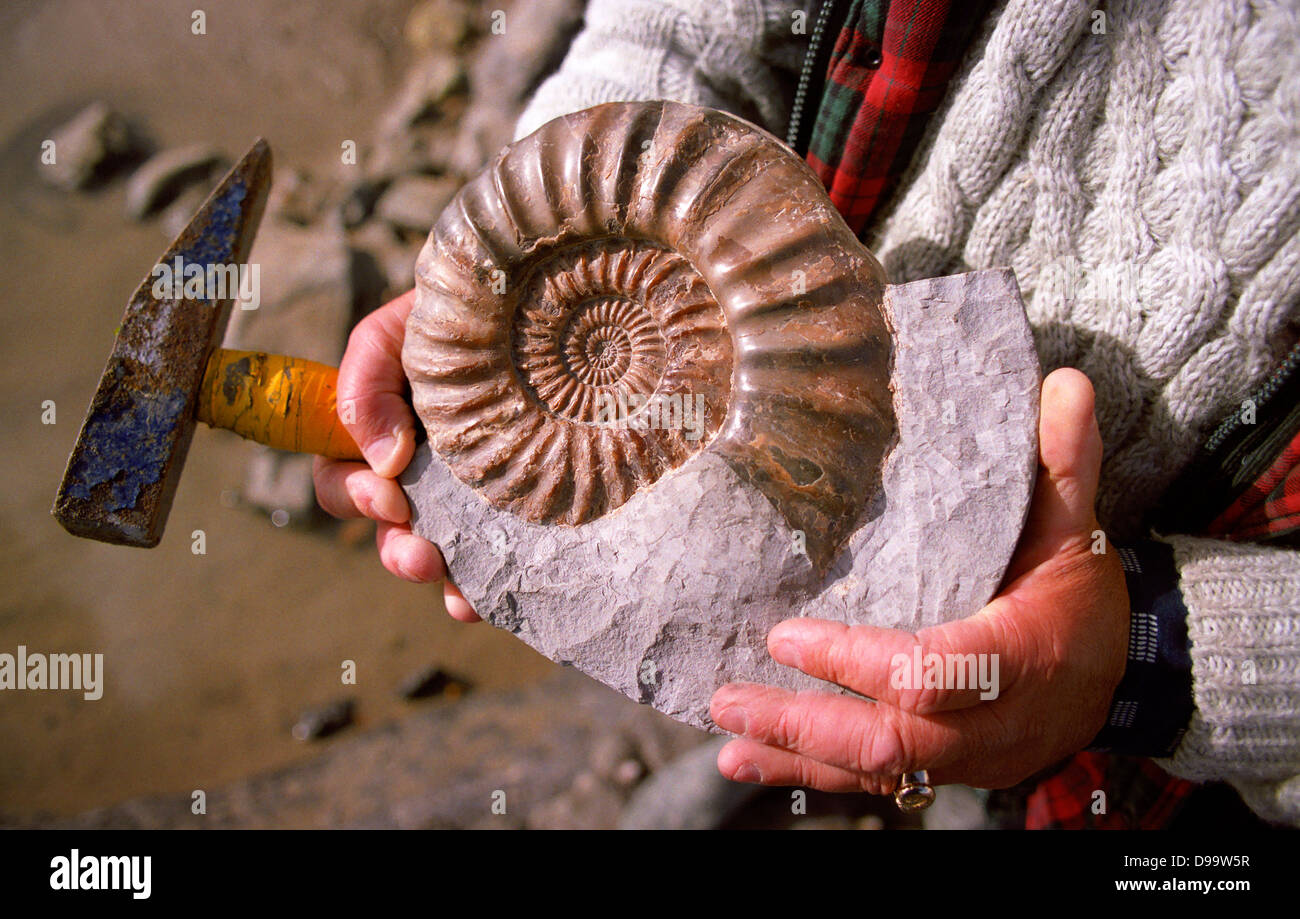 Fossil found along the Jurrasic Coast near Lyme Regis in Dorset. - Stock Image