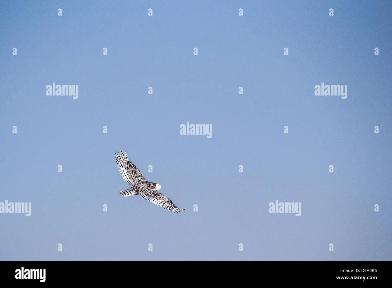 The Snowy Owl (Bubo scandiacus),  Strigidae,Carolus Linnaeus, Winter, Alberta, Wild, Canada, north - Stock Image