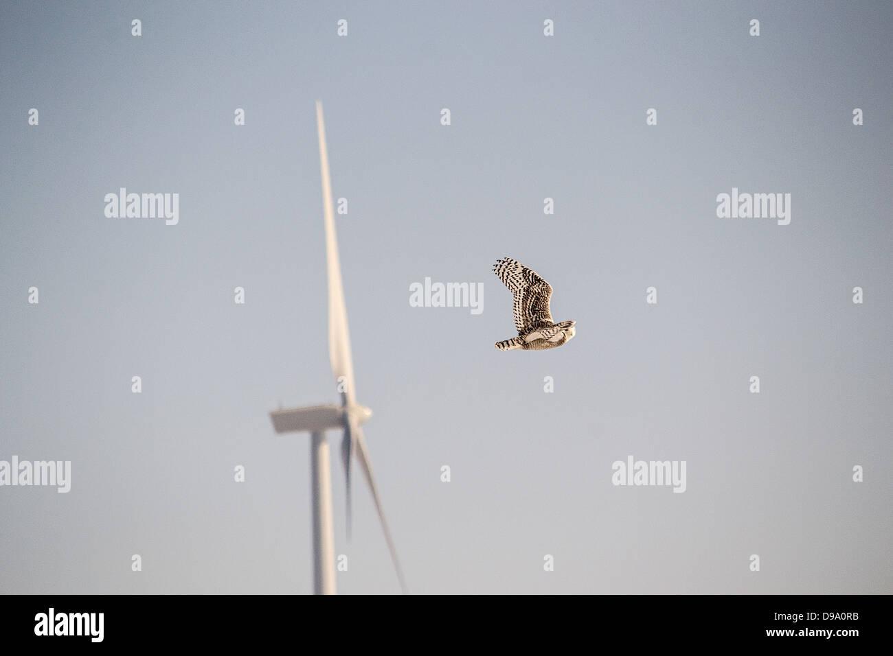 Snowy owl, wind, green, power, turbine, inventive, landscape, Castor, Alberta, wind project, clean energy, energy - Stock Image