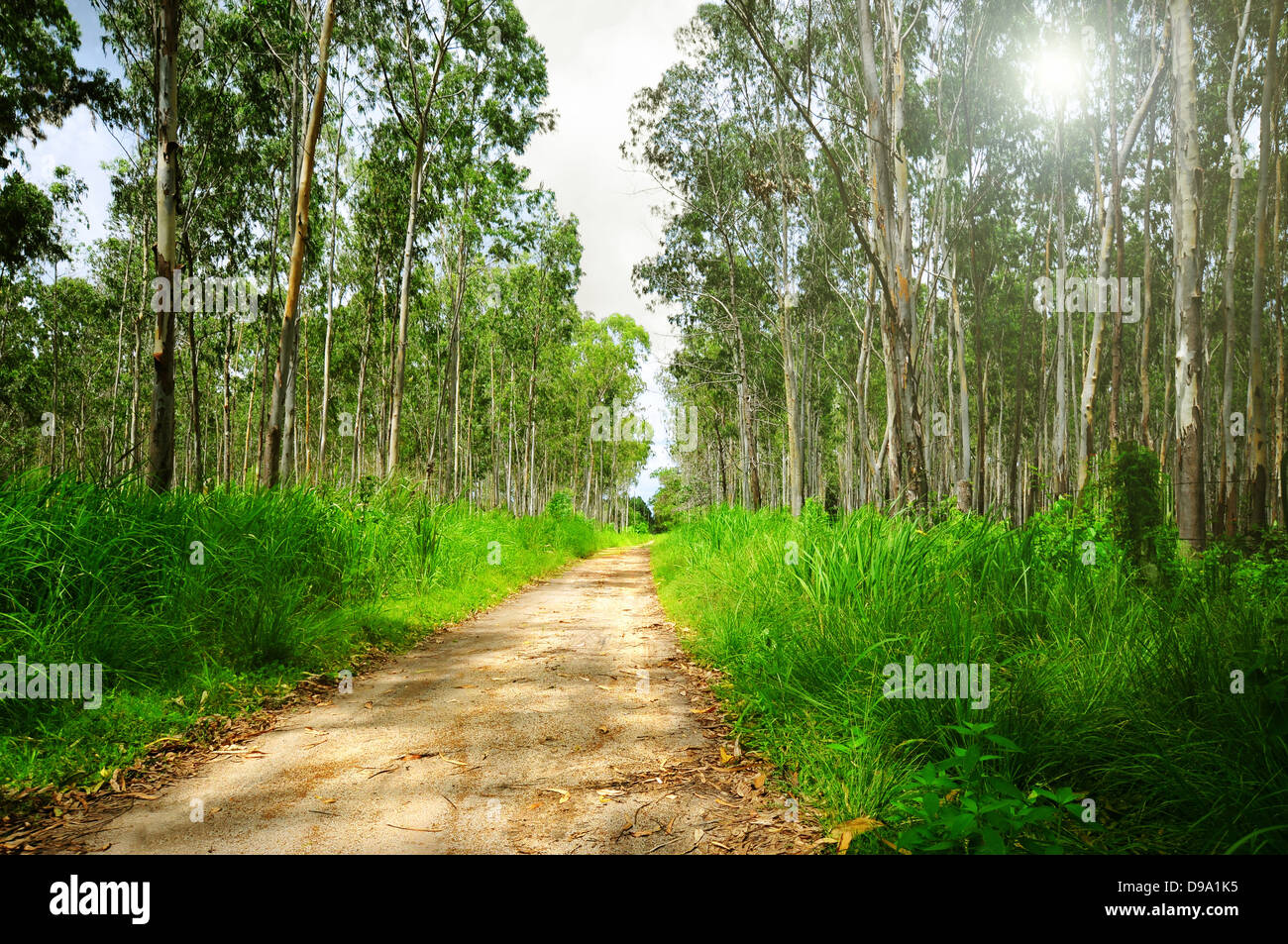 Eucalyptus forest with a dirt road in the middle - Stock Image