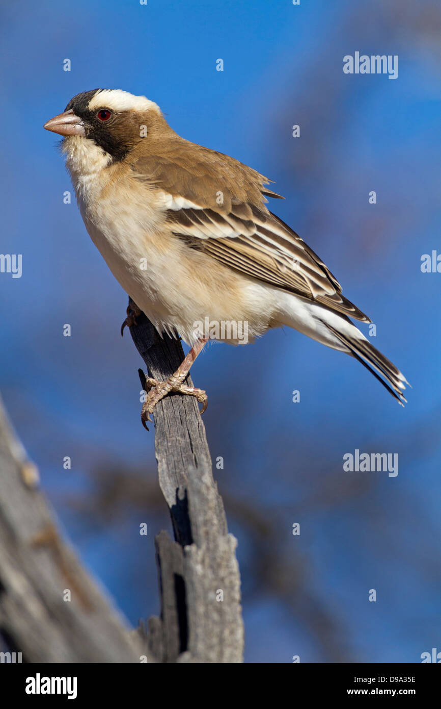 Augenbrauenmahali, White-browed Sparrow Weaver, White-browed Sparrow-Weaver, Plocepasser mahali - Stock Image