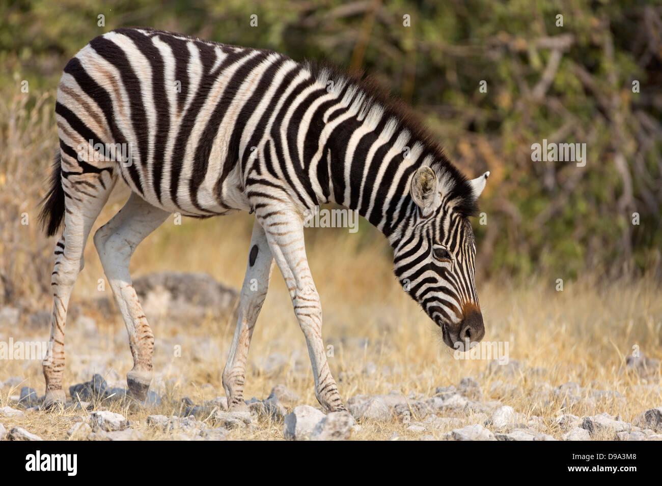 plains zebra, common zebra, Burchell's zebra, Equus quagga, plains zebra, common zebra, Burchell's zebra, - Stock Image