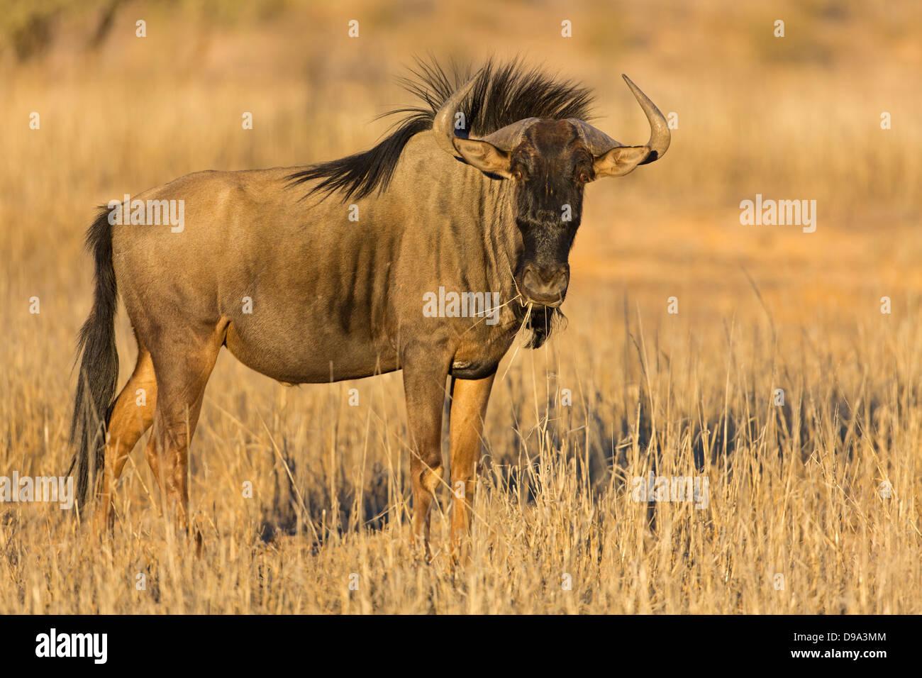 Connochaetes taurinus, Blue Wildebeest, Common Wildebeest, Streifengnu - Stock Image