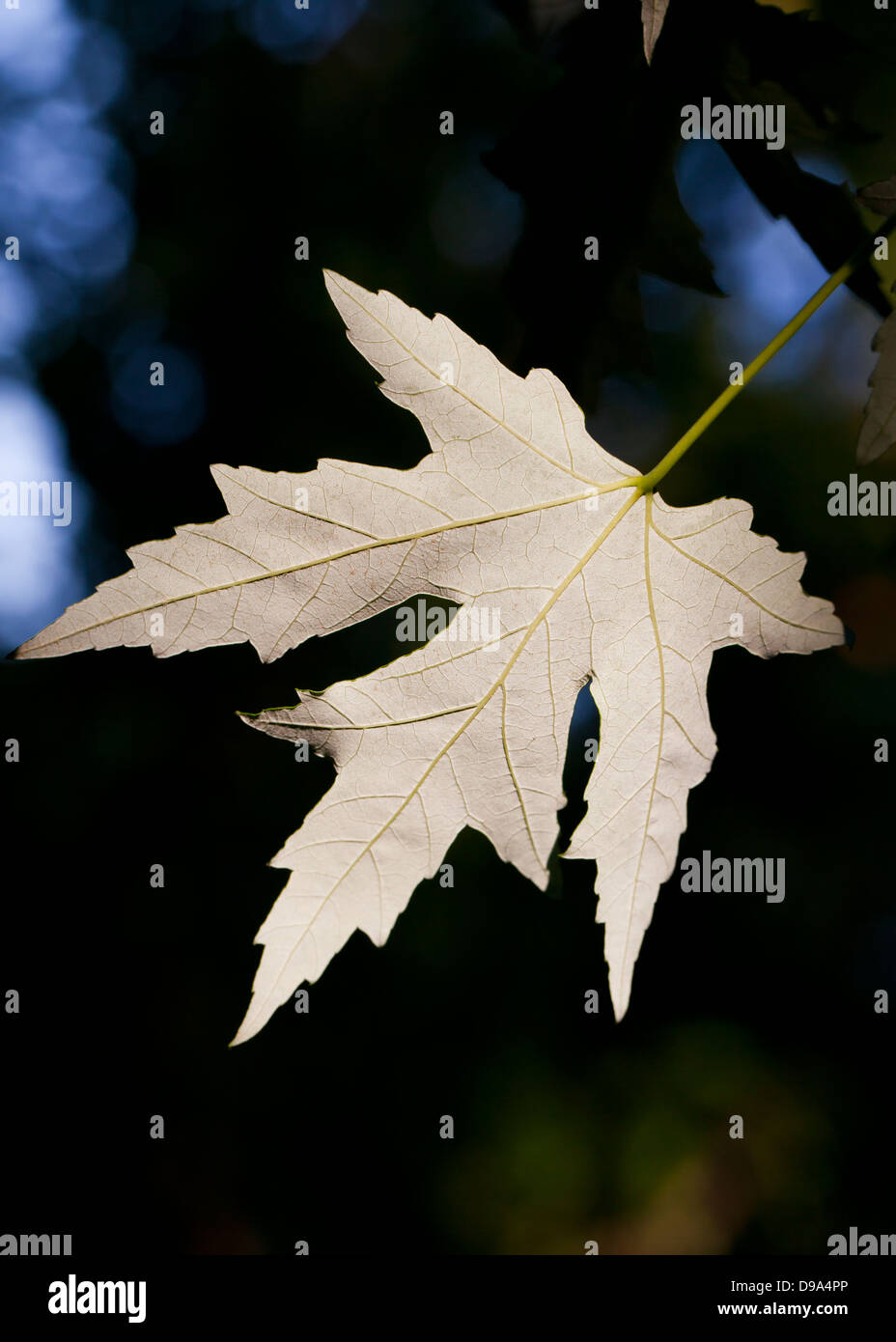 Underside of Maple leaf - Stock Image
