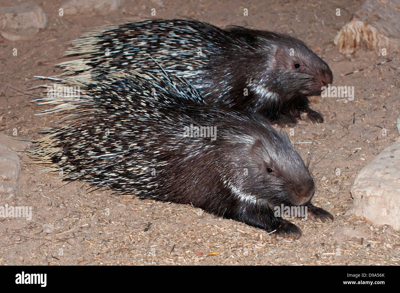 Couple of Crested porcupine, Hystrix cristata - Stock Image