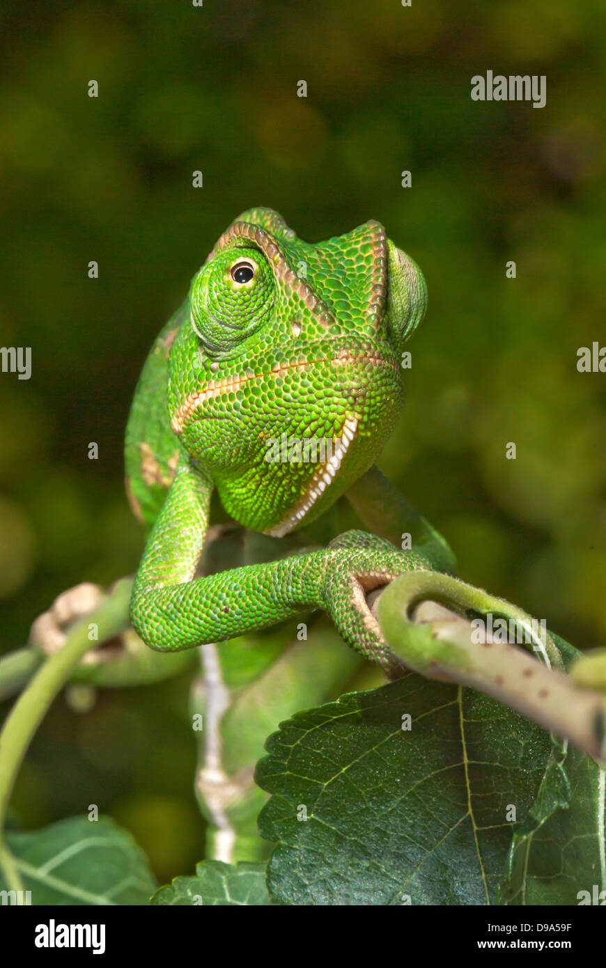 Chameleon in frontal view - Stock Image