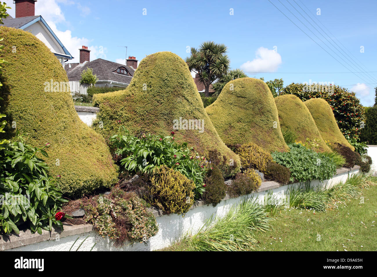 Conifer topiary in a Northern Ireland garden - Stock Image