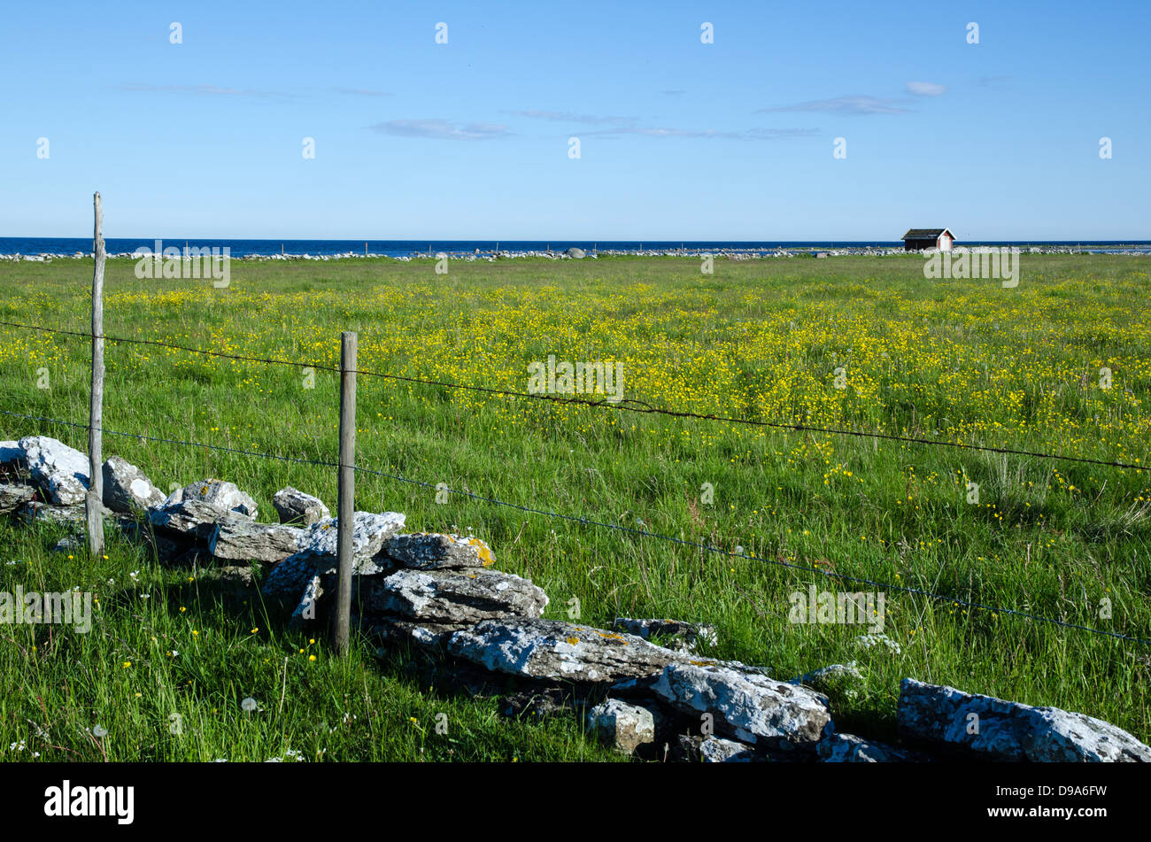 Coastal view with green field and yellow flowers at the island Oland in Sweden. - Stock Image