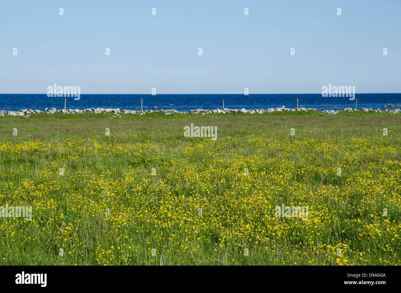 Blue water and yellow flowers in a green field. From the island Oland ind Sweden. - Stock Image