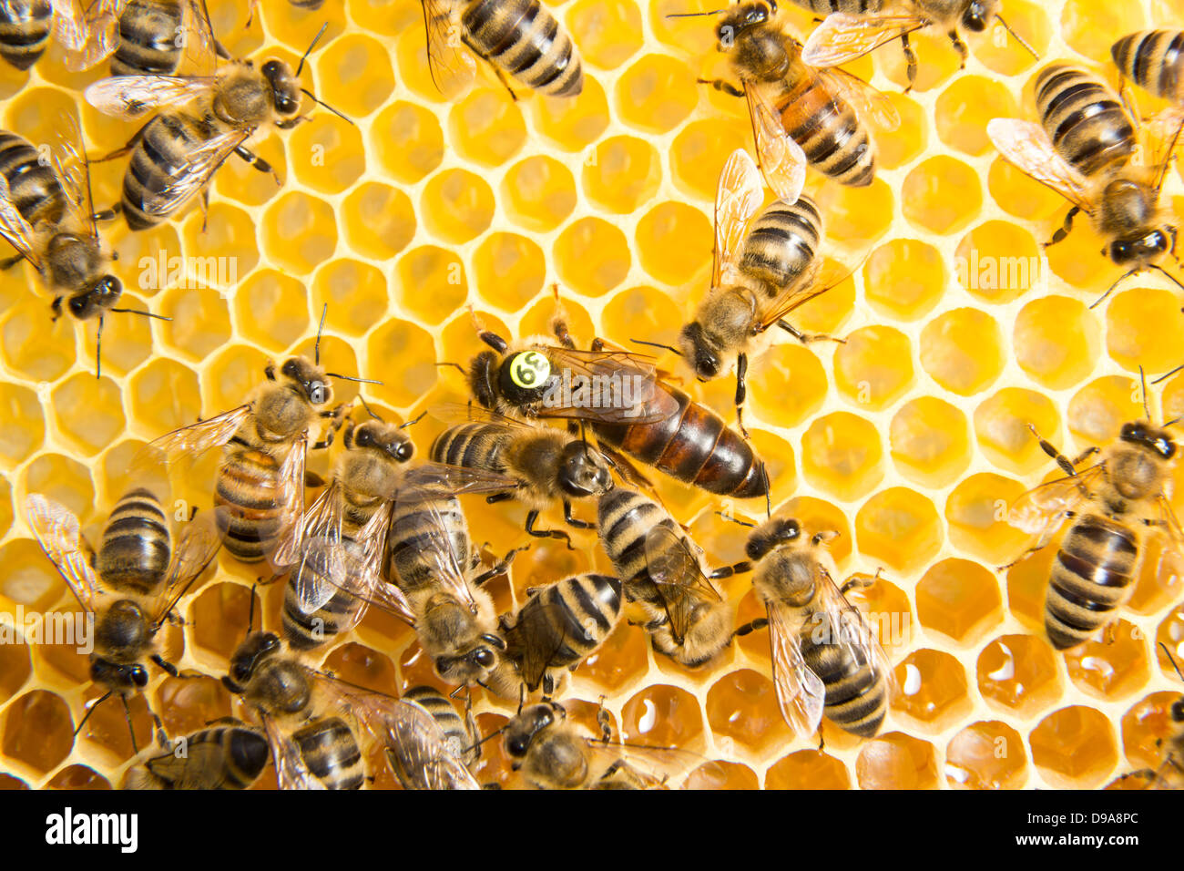 Queen bee in a beehive laying eggs supported by worker bees - Stock Image