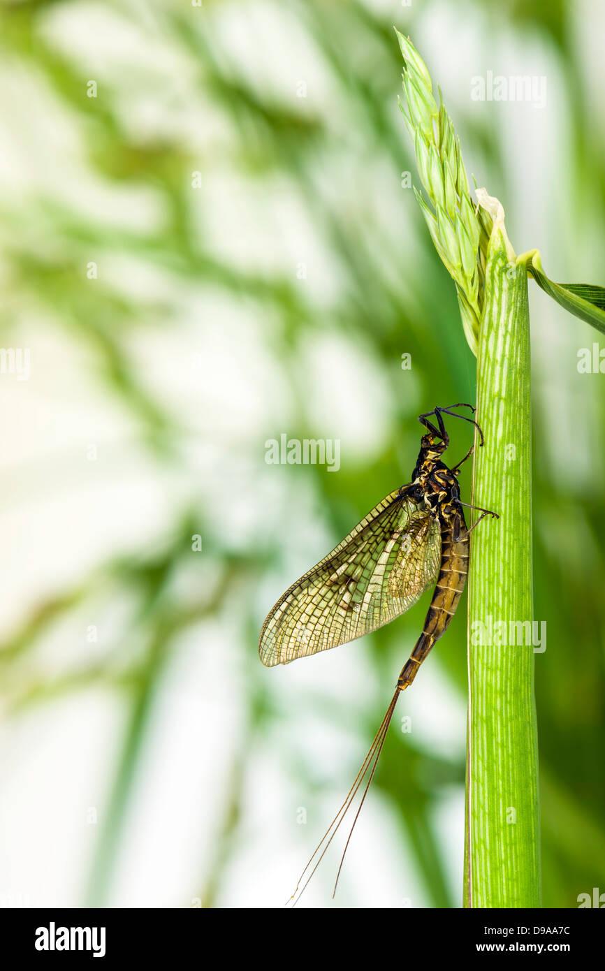 Mayfly (Ephemera danica) - Stock Image