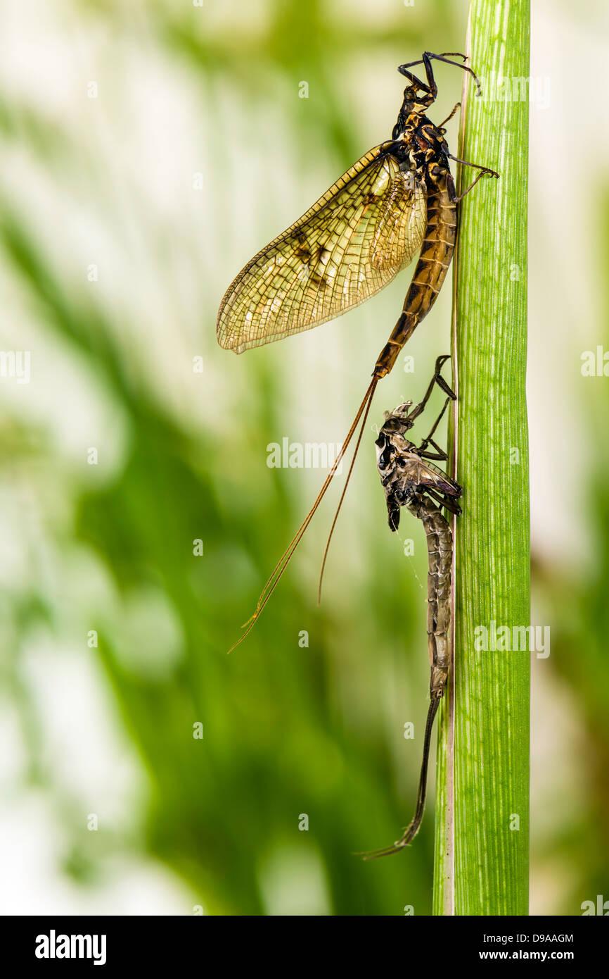 Mayfly (Ephemera danica) emerged from Subimago form. - Stock Image