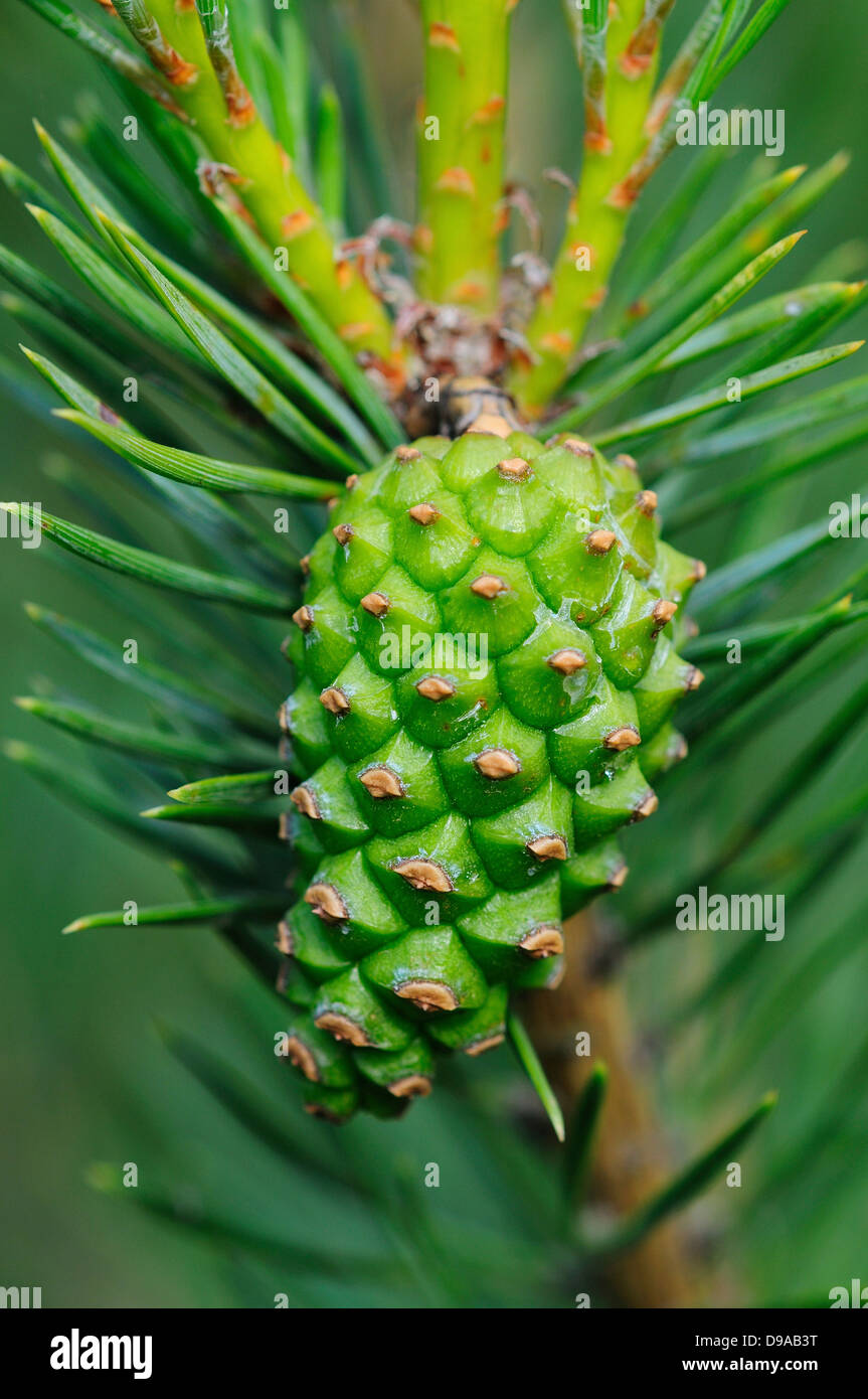 A Scots pine seed cone - Stock Image