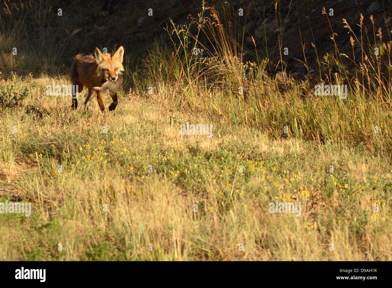A Red Fox bringing a rabbit home to its puppies. - Stock Image