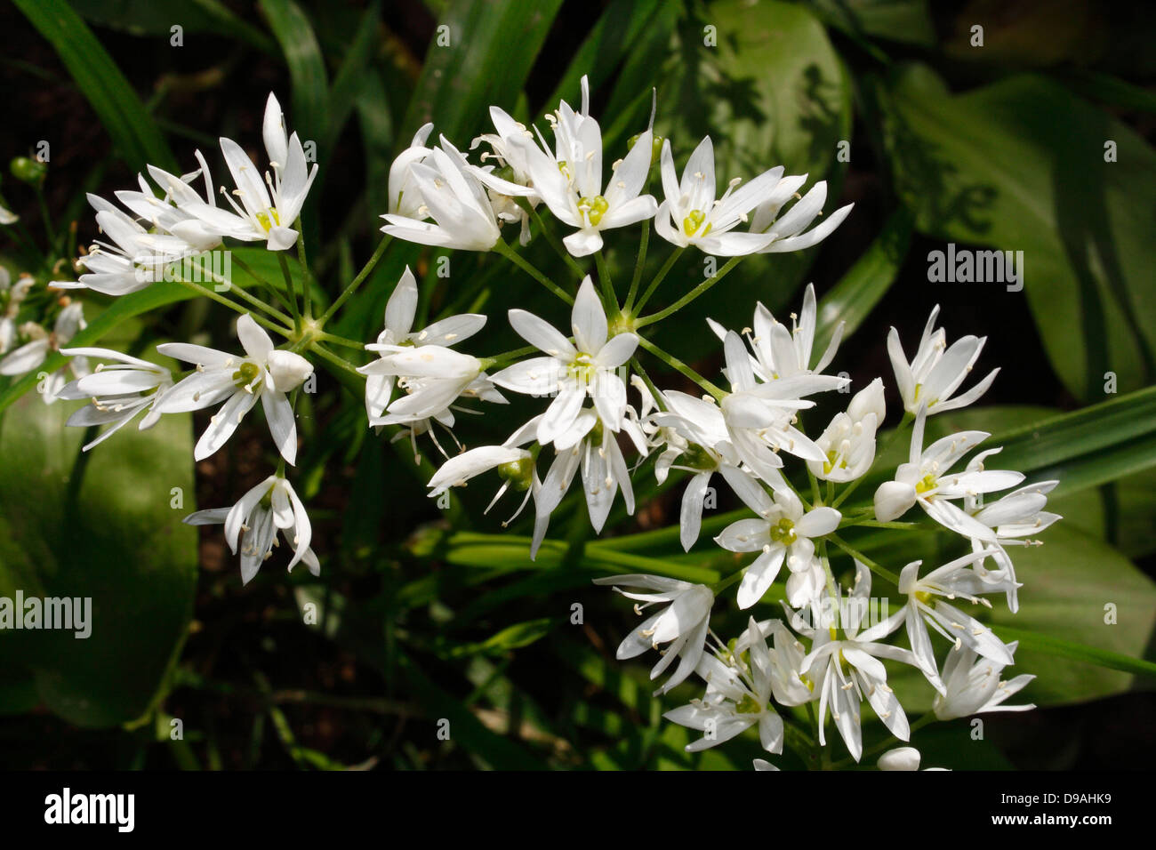 Flowers of the Wild Garlic plant, Allium Ursinum - Stock Image