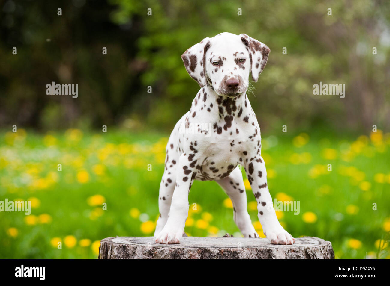 Dalmatian puppy in a meadow - Stock Image