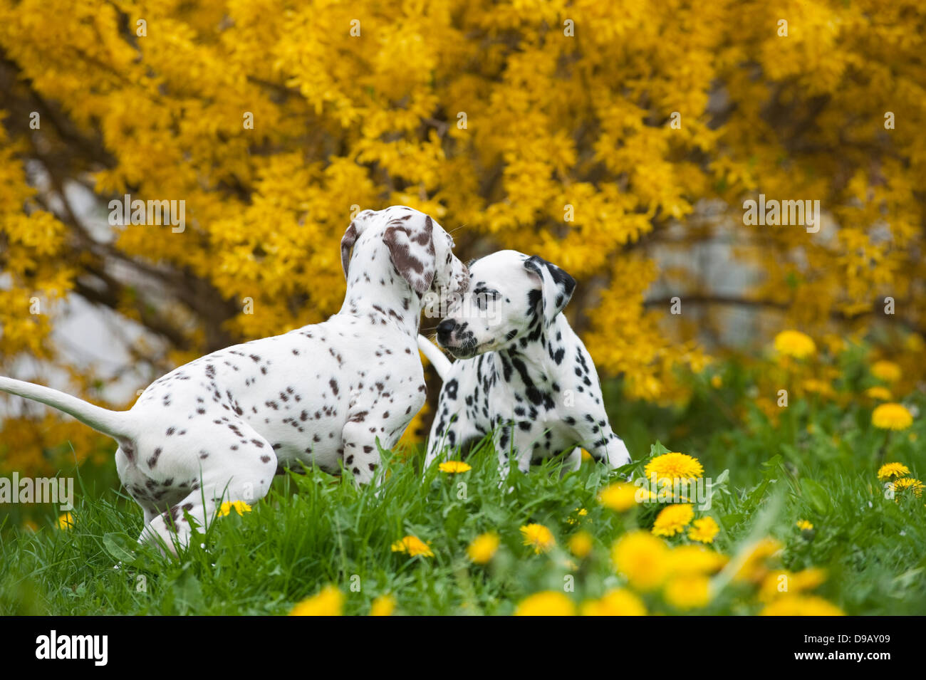 Dalmatian puppies playing in a meadow - Stock Image