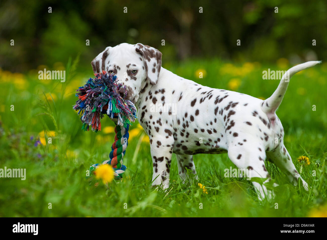 Dalmatian puppy with toy in a meadow - Stock Image