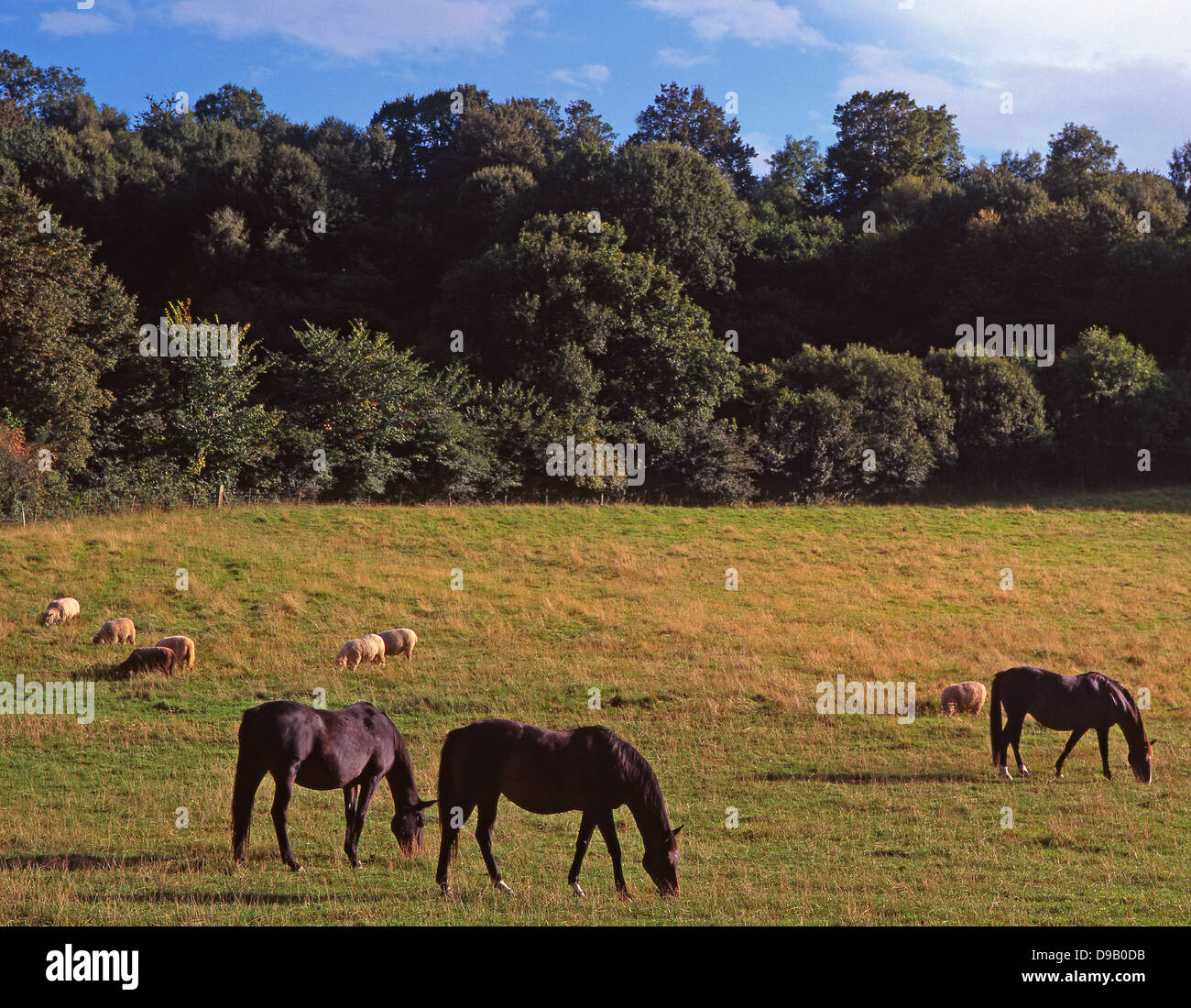 A picturesque, tranquil scene of horses and sheep grazing in open pastureland, Devon, England, UK. - Stock Image