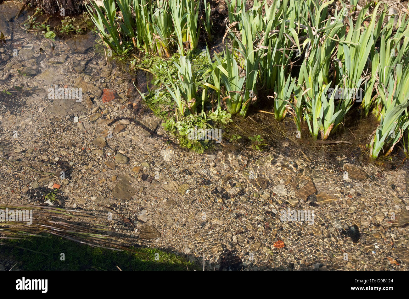 Fresh clear water in a Cotswold stream, with Flag Iris Leaves on the bank edge. - Stock Image