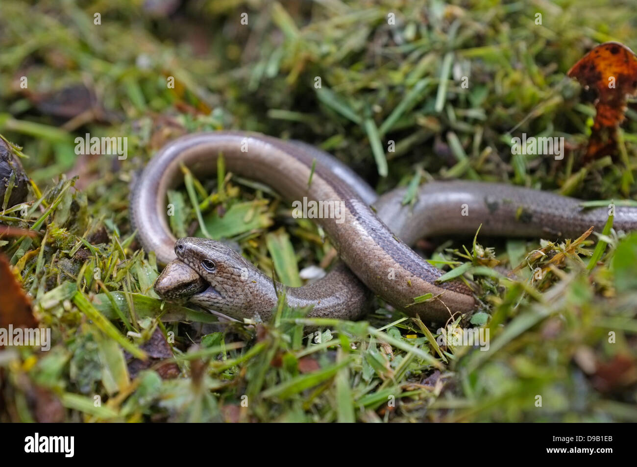 Slow worms mating, male holding female's head - Stock Image