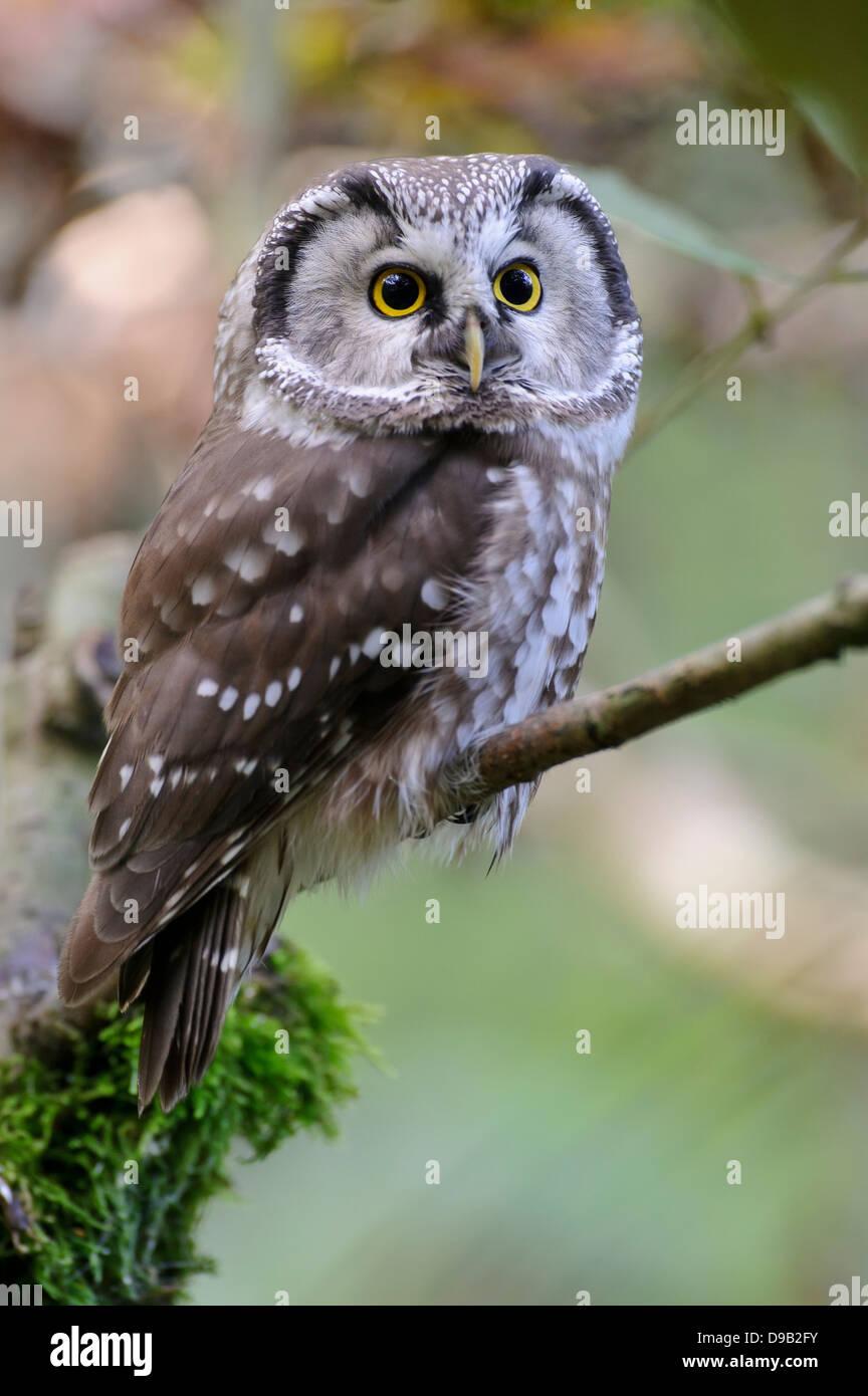 Aegolius funereus, Boreal Owl, Raufußkauz, Tengmalm's Owl - Stock Image