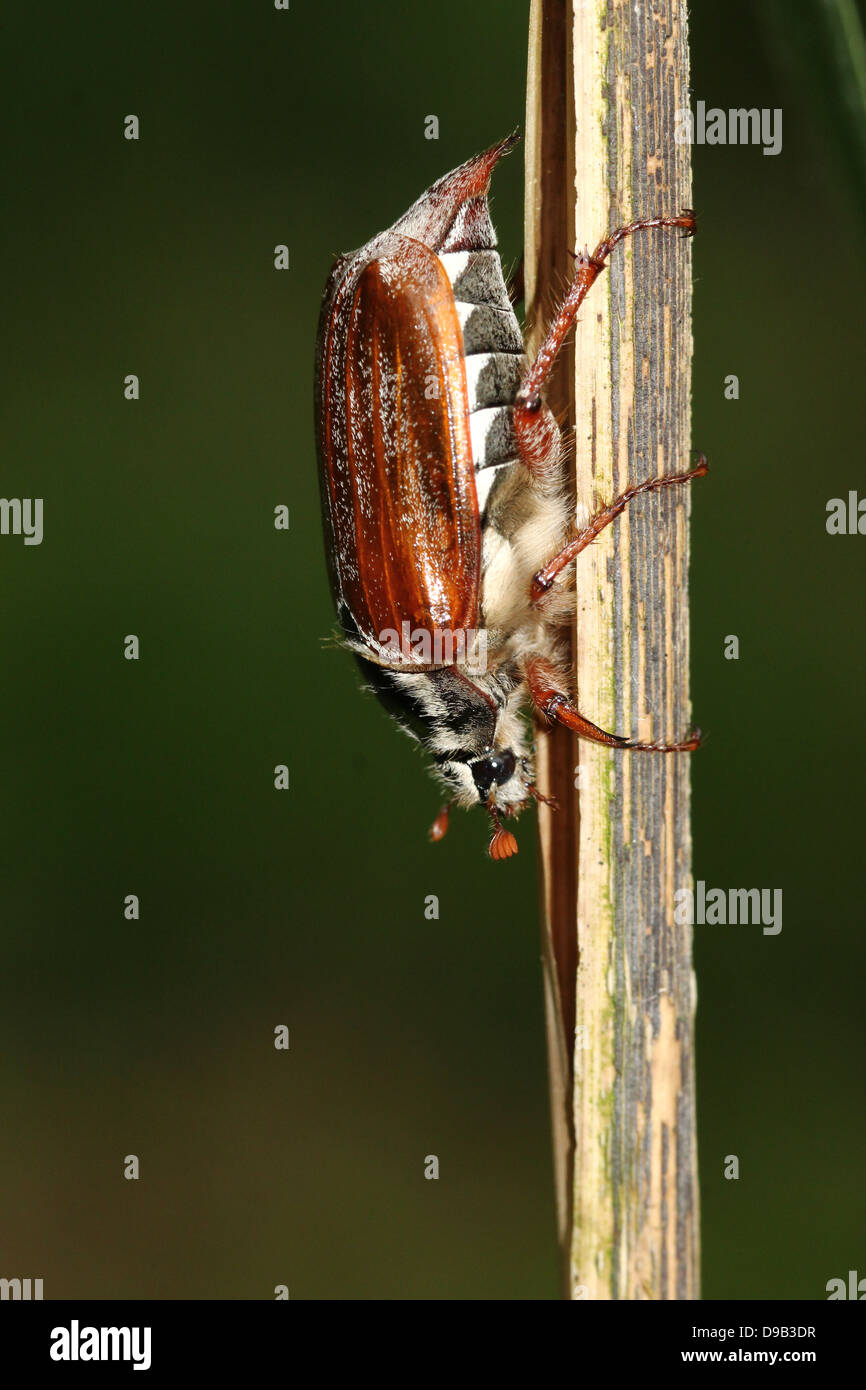 Male European Cockchafer a.k.a. May Bug (Melolontha melolontha) Stock Photo