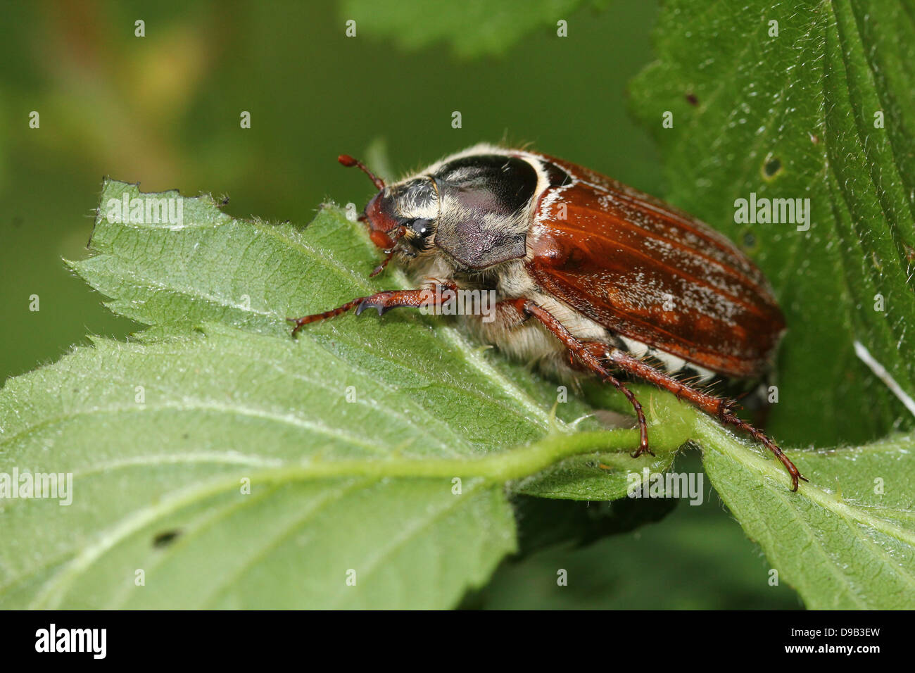Very detailed close-up of a male Cockchafer a.k.a. May Bug (Melolontha melolontha) Stock Photo