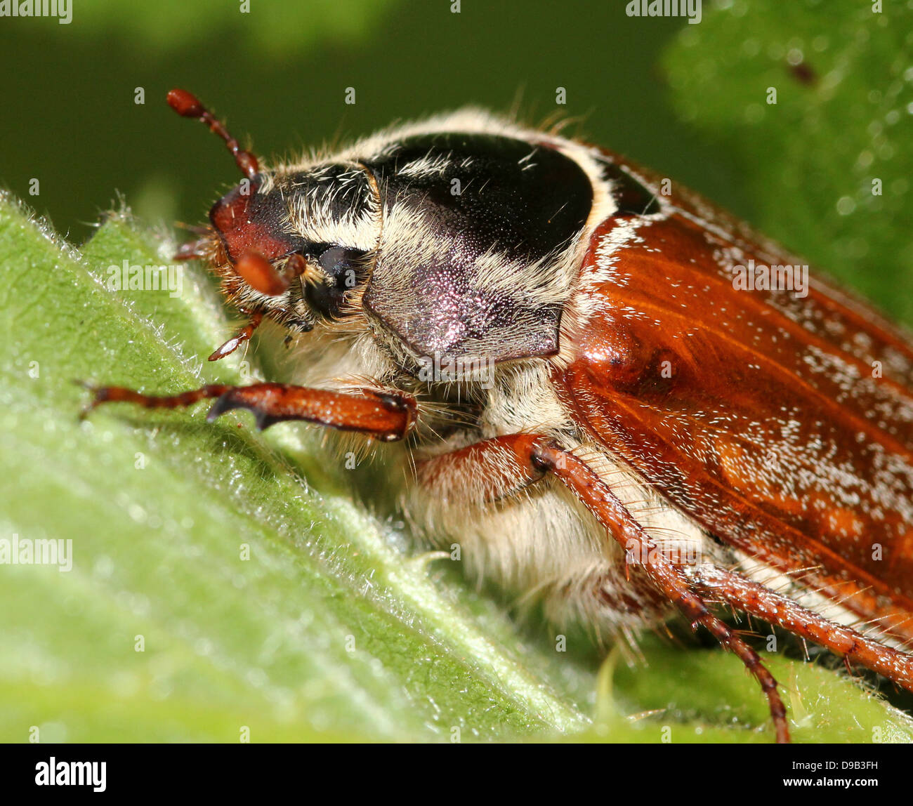 Close-up of  the head and feathered antennae of a male Cockchafer a.k.a. May Bug (Melolontha melolontha) Stock Photo
