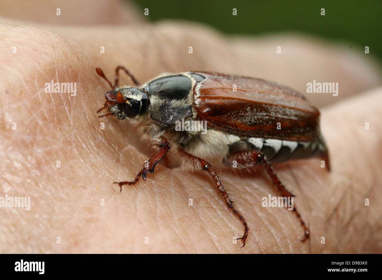 Very detailed close-up of a male Cockchafer a.k.a. May Bug (Melolontha melolontha) posing on hand and finger, 4 images in series Stock Photo