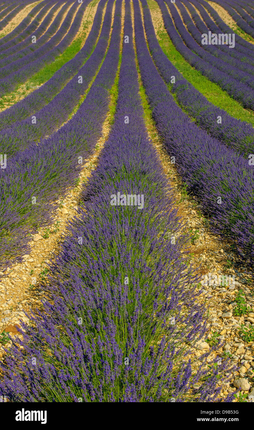 Lavender field, Provence, France Stock Photo