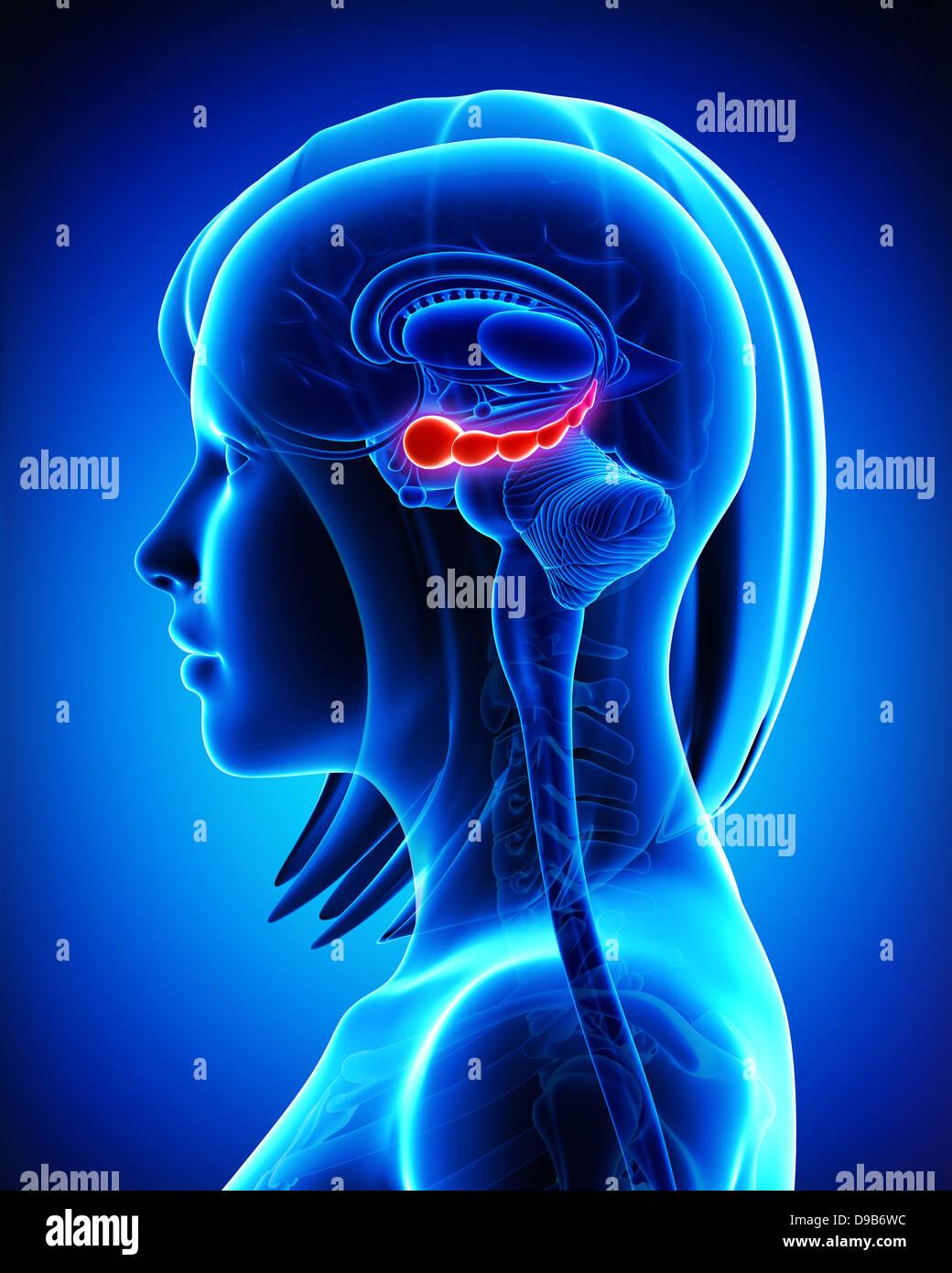 Anatomy of Brain hippocampus in blue Stock Photo: 57409896 - Alamy