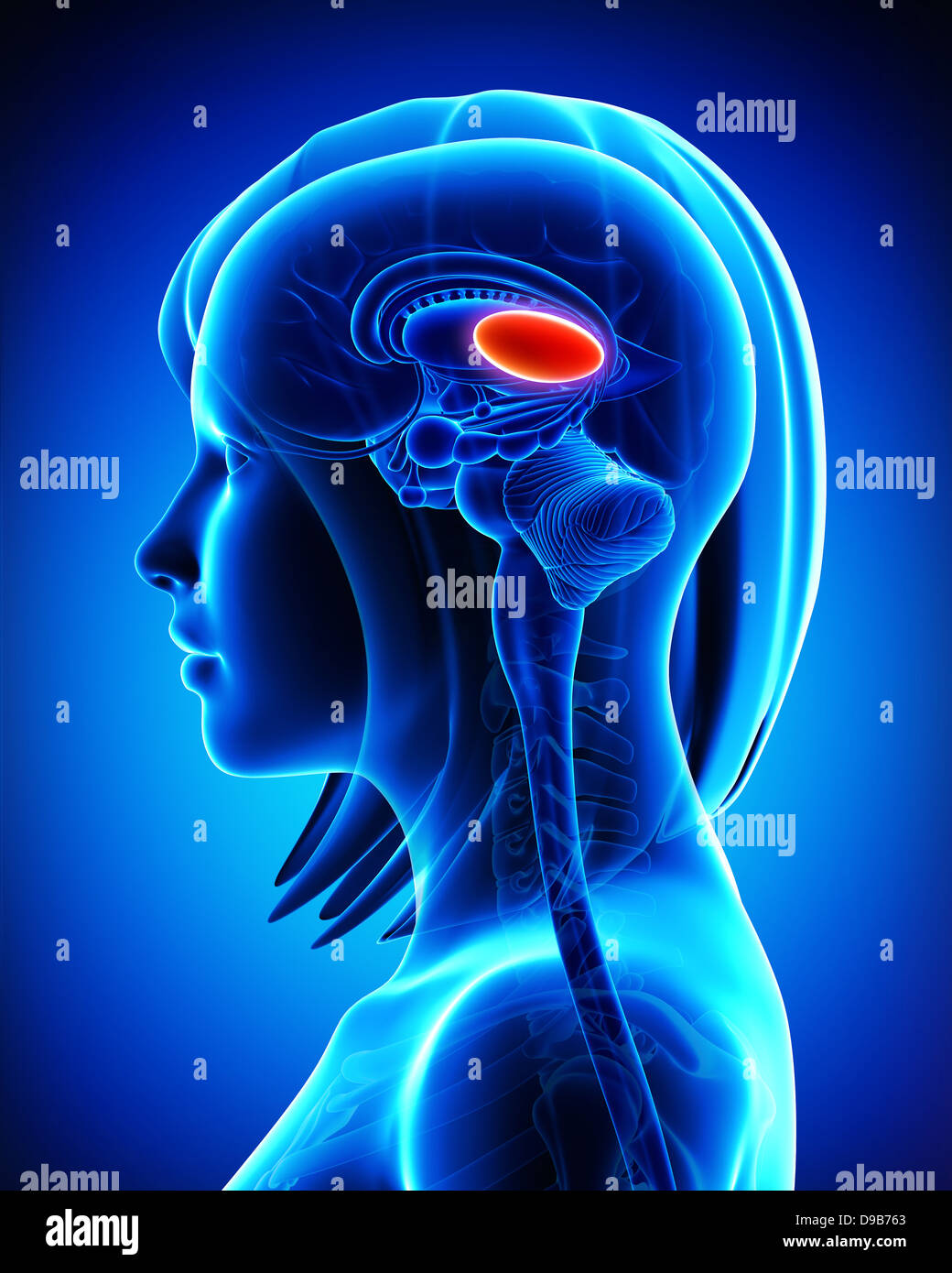 Anatomy of female brain's thalamus, L- cross section - Stock Image