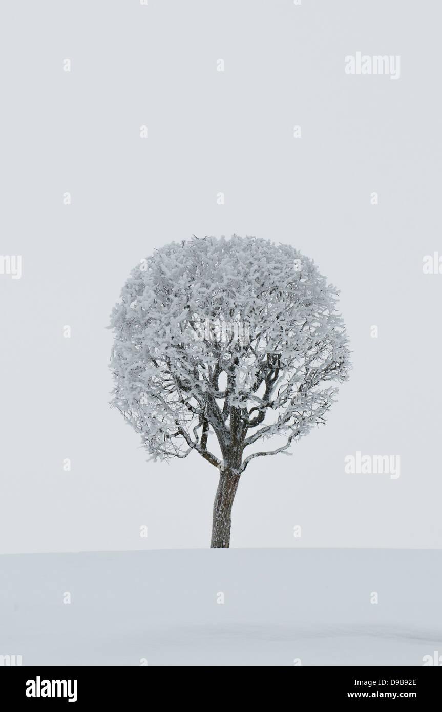 winter tree - Stock Image