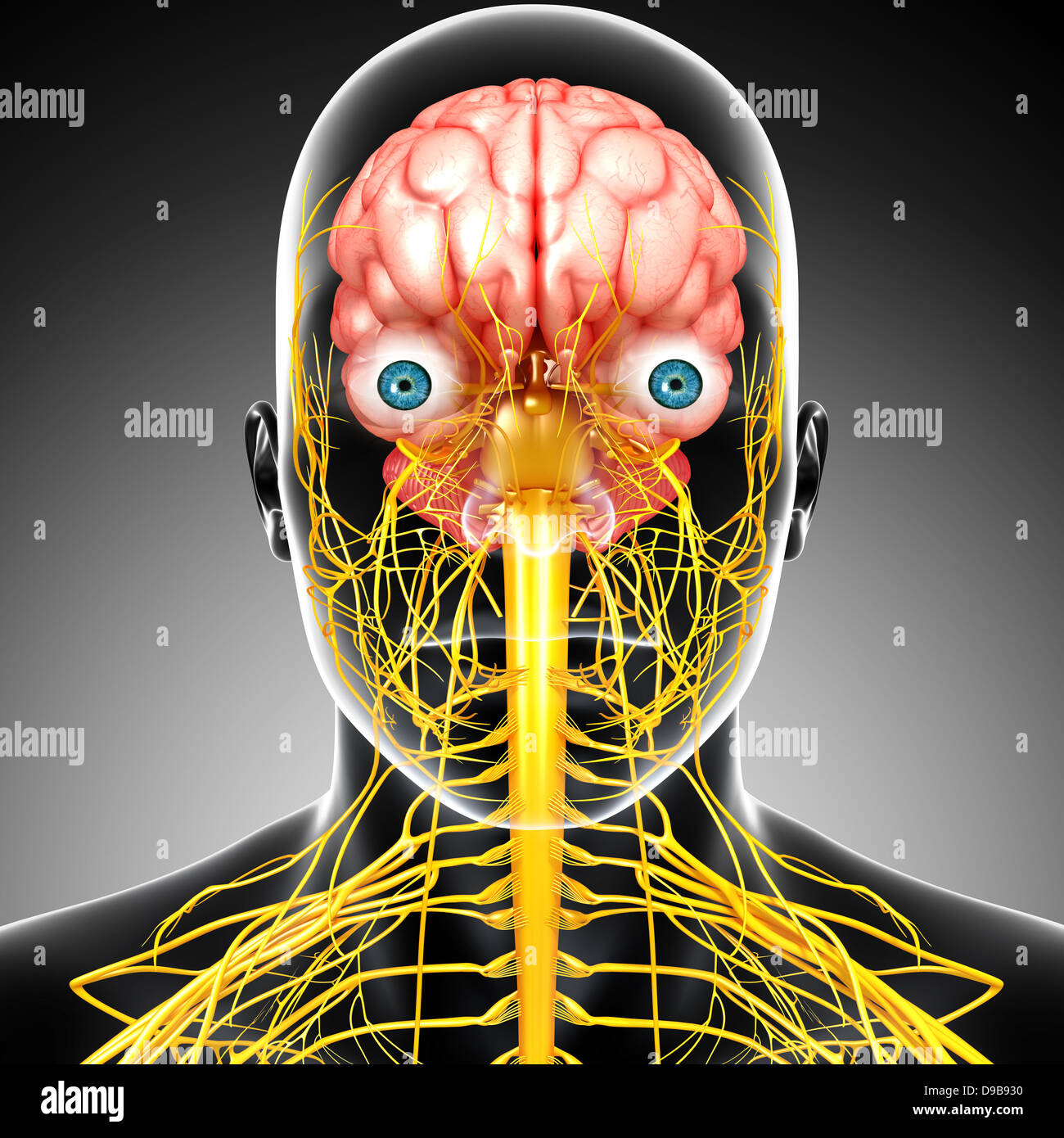 nervous system of human head anatomy in x-ray form - Stock Image