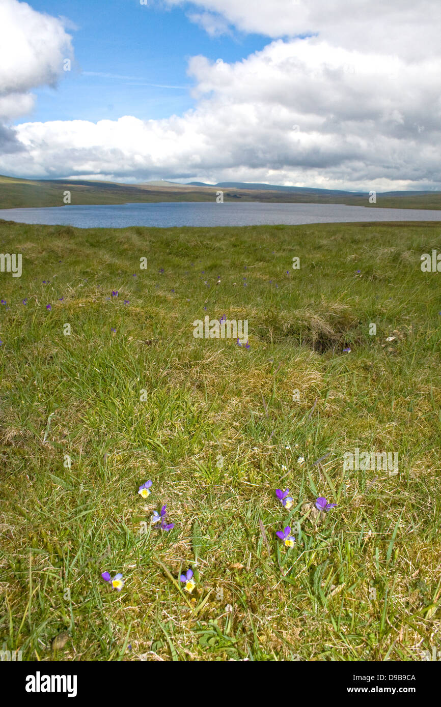 mountain pansies growing at Cow Green Reservoir, Upper Teesdale - Stock Image