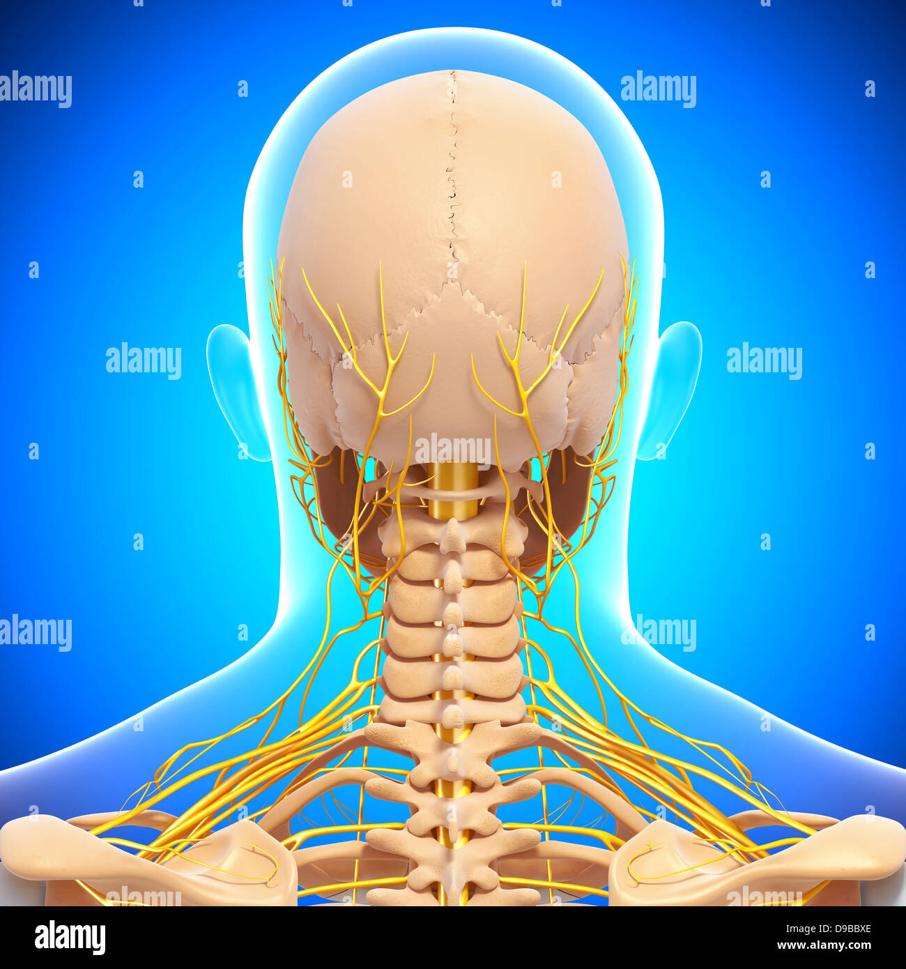 Nervous system of human head anatomy in x ray form stock photo nervous system of human head anatomy in x ray form ccuart Image collections