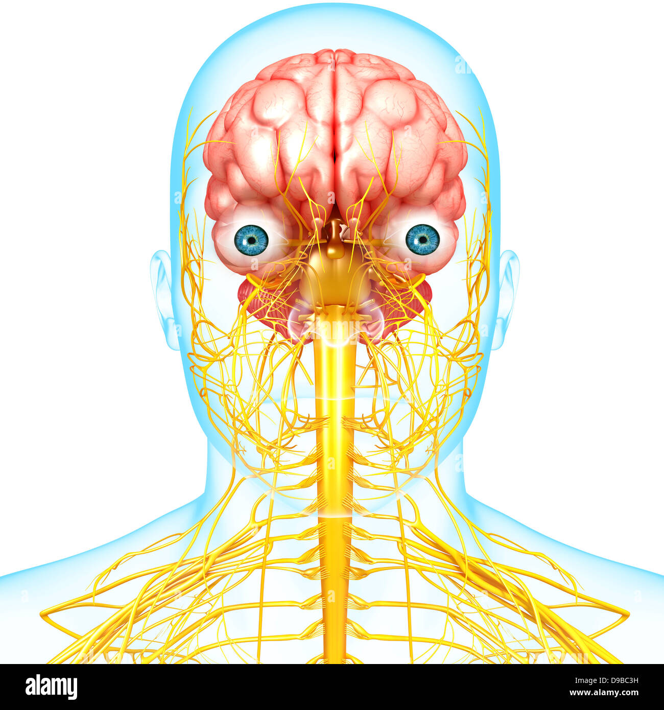 nervous system of human head anatomy in x-ray form Stock Photo ...