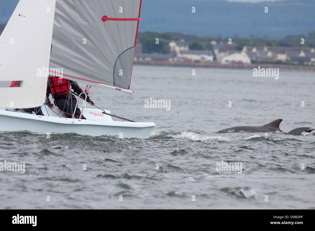 Bottlenose DolphinS (Tursiops truncatus) following a little sailboat in the Moray Firth, Chanonry Point, Scotland, - Stock Image