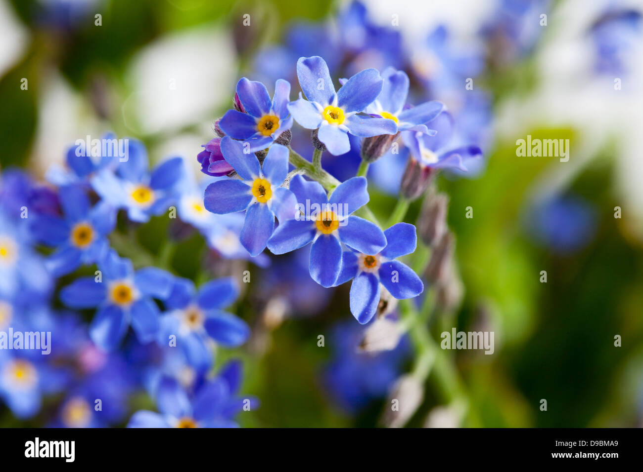 Forget me not flowers, close up Stock Photo