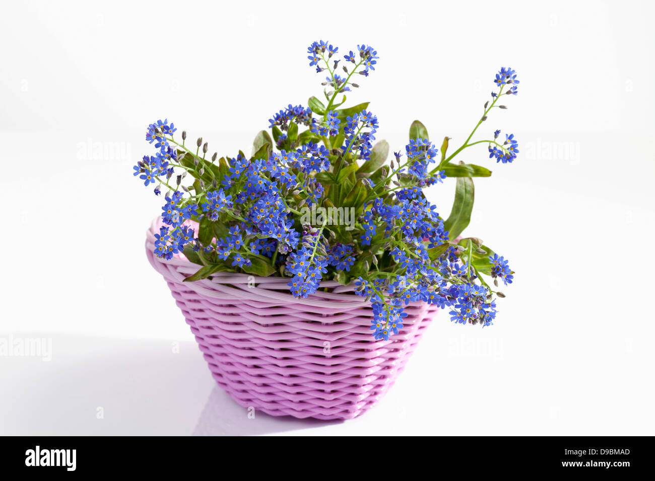 Potted Plant Of Forget Me Not Flowers On White Background Stock