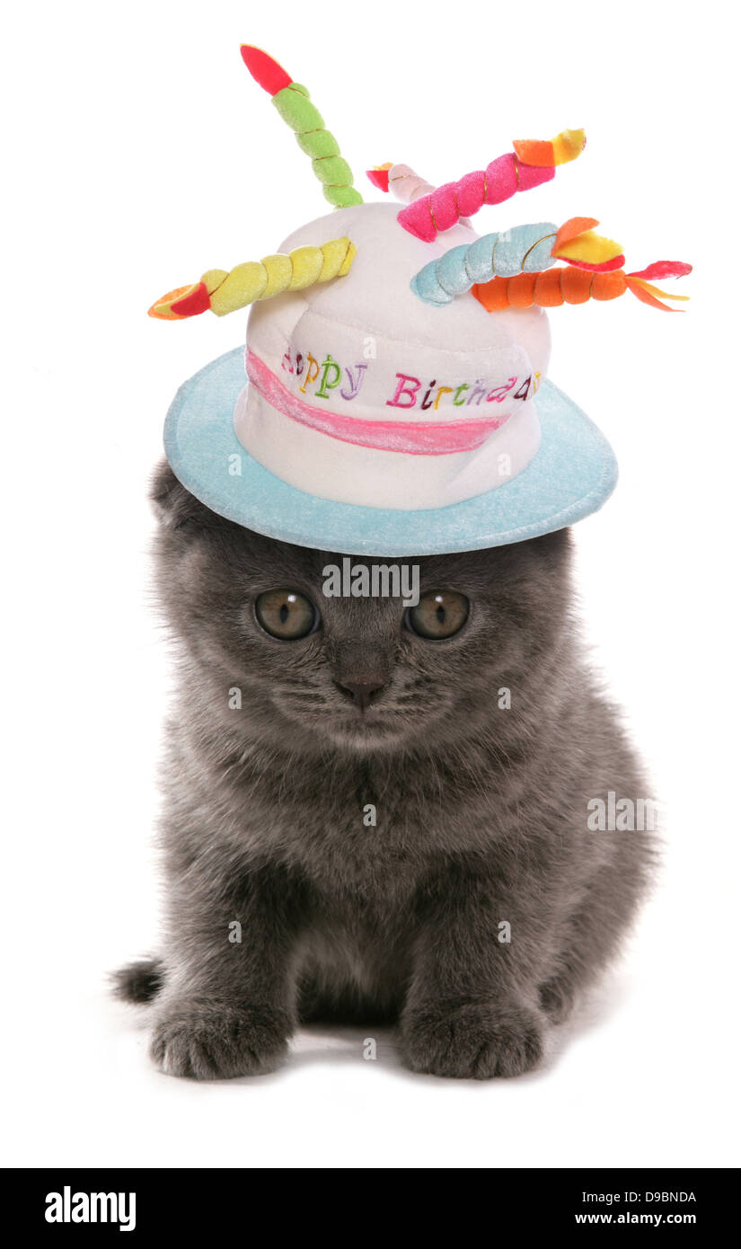Scottish Fold Blue Kitten With Happy Birthday Hat Studio Cutout