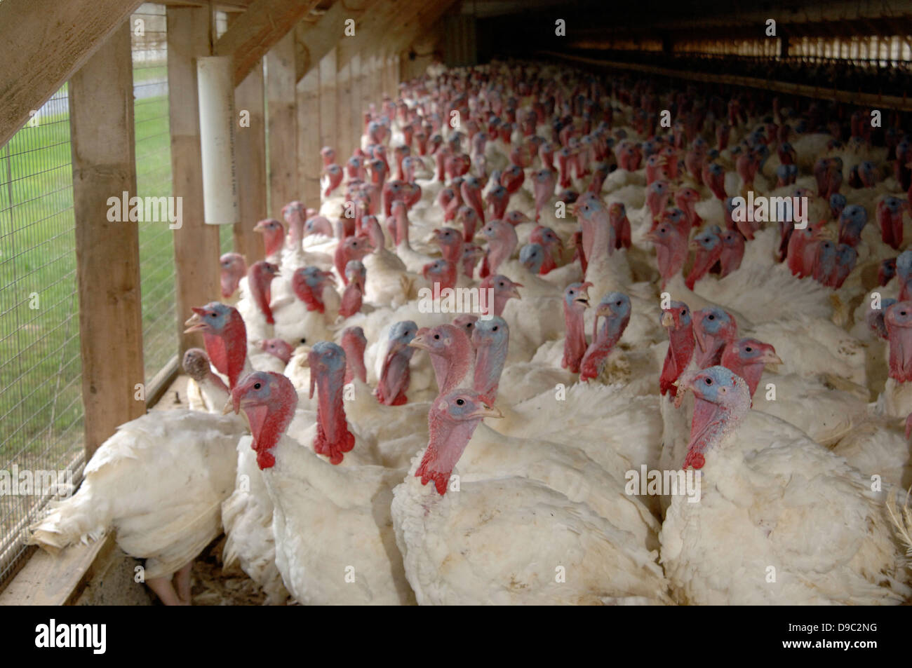 Farm-bred domesticated turkeys gather in a poultry house September 9, 2008 in Rockingham County, Virginia. - Stock Image