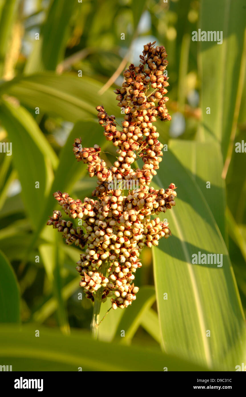 Sorghum growing in the Power Plant garden at the National Arboretum in Washington, D.C. on August 19, 2008. Sorghum - Stock Image