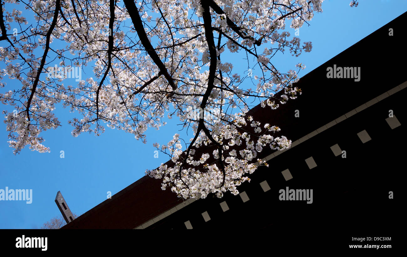 Branch of Cherry Blossom and the roof of Yasukuni Shrine - Stock Image