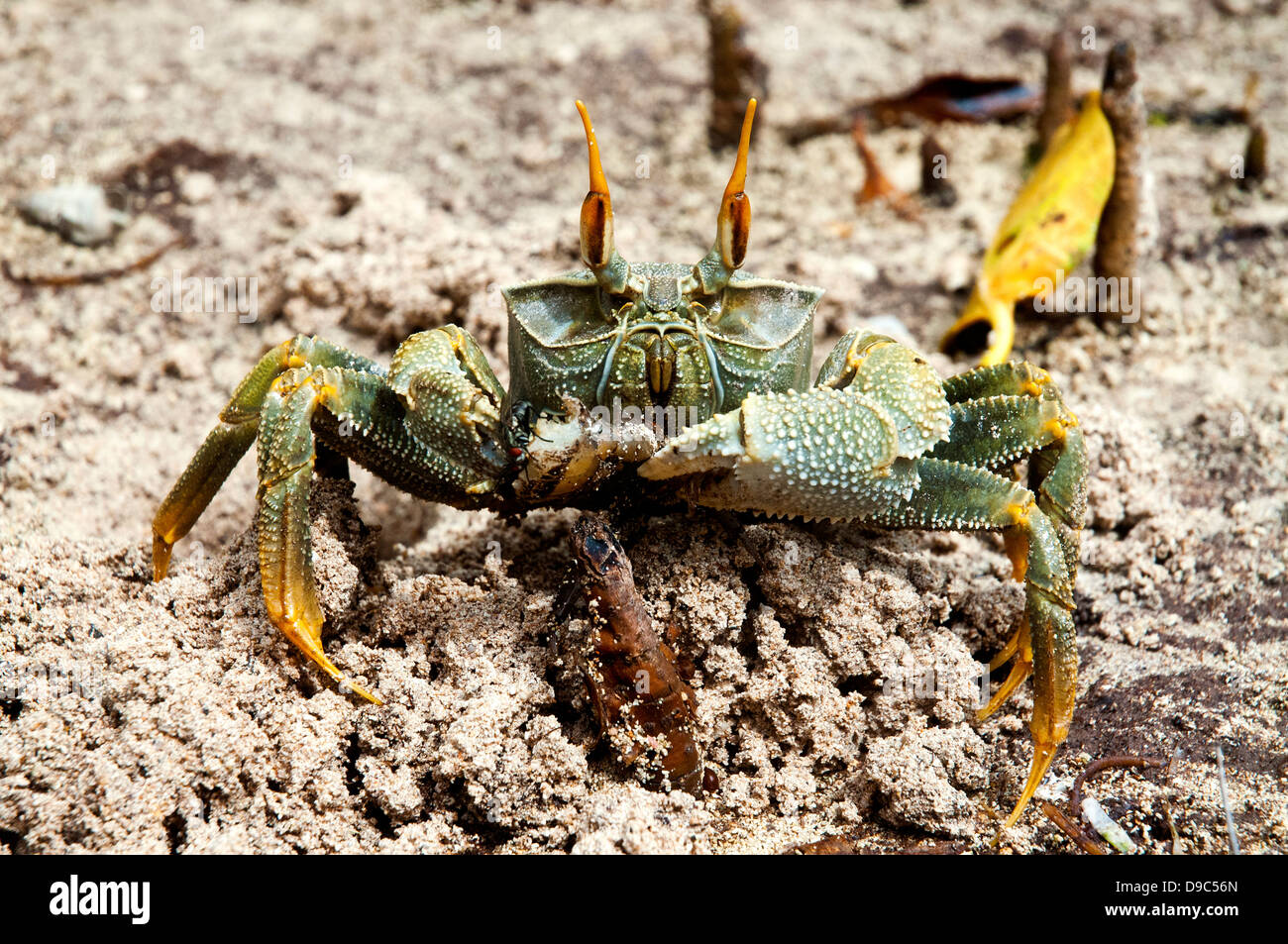Close up shot of a horned ghost crab Stock Photo