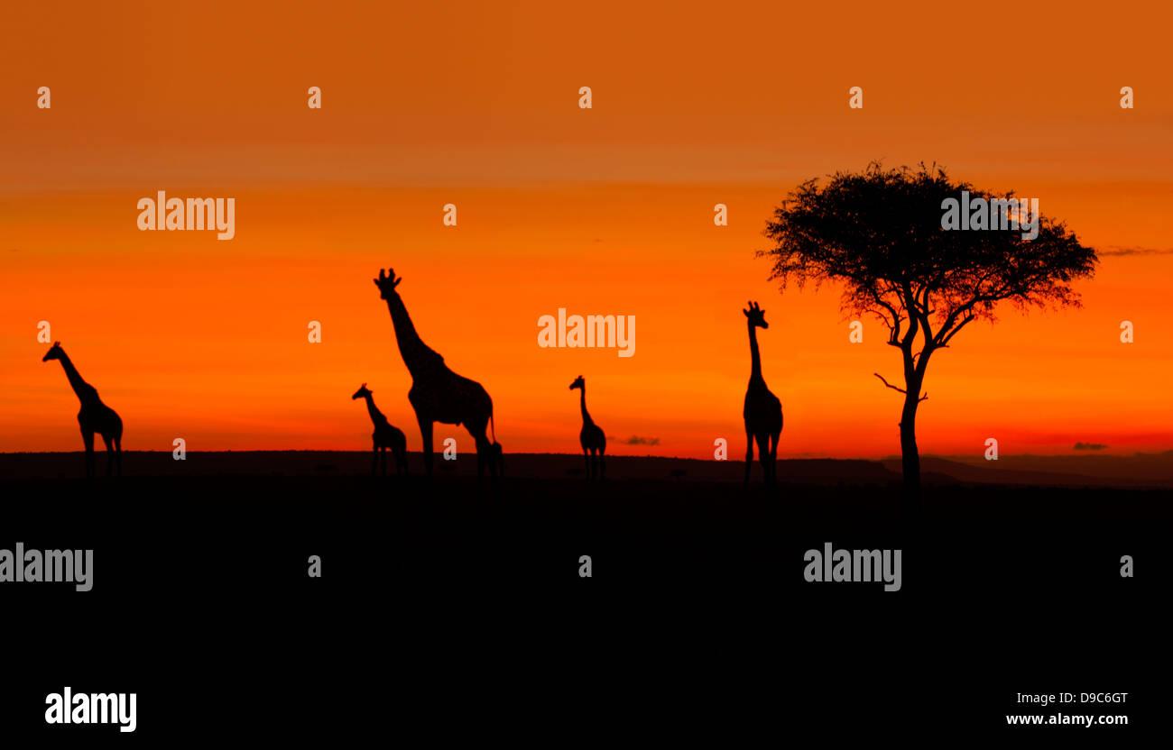 Giraffe herd at Sunrise, Masai Mara, Kenya - Stock Image