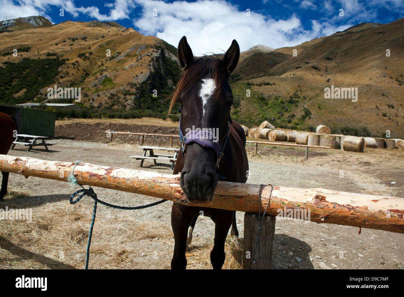 A dark colored horse tied to a post, Ben Lomond Station, Queenstown, Otago District, South Island, New Zealand - Stock Image